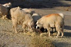 吃草在小山的绵羊 免版税库存图片