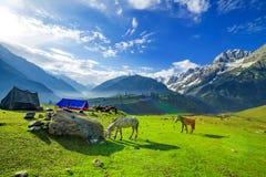 吃草在小山,克什米尔的马 库存照片