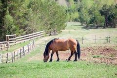 吃草在小牧场的一匹栗子马 库存照片