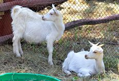 吃草在小牧场的两只白色山羊 库存图片