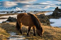 吃草在小牧场的冰岛马 免版税图库摄影