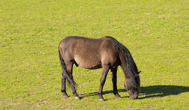 吃草在小牧场的布朗小马 库存图片