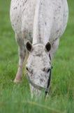 吃草在小牧场的微型小马阿帕卢萨马 免版税库存图片