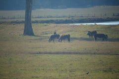 吃草在小牧场的母牛 库存照片