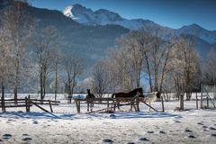 吃草在小牧场的马在高地农场多雪的天 库存照片
