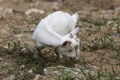 吃草在山坡的一只幼小山羊 库存照片