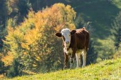 吃草在山牧场地的小牛 免版税库存照片