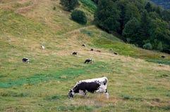 吃草在山牧场地的母牛 库存图片