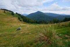 吃草在山牧场地的母牛 库存照片