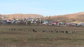 吃草在山的一个草甸的母牛 影视素材
