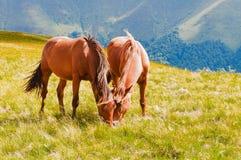 吃草在山的两匹棕色马在喀尔巴汗吃草 免版税库存照片