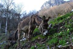 吃草在山的小山的驴在春天 库存照片