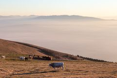 吃草在山的有些母牛和马在日落,与雾在底下和非常温暖的颜色 免版税库存照片