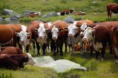 吃草在山的母牛 库存照片