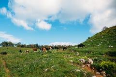 吃草在山的绿色草甸的母牛 在山牧场地的牛 母牛在牧场地 免版税库存图片