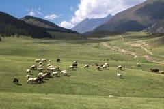 吃草在山的高山草甸的绵羊 图库摄影