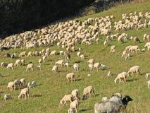吃草在山的绵羊和山羊大群  免版税图库摄影
