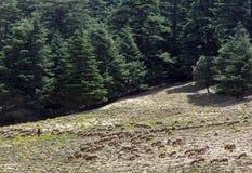 吃草在山的绵羊在雪松森林旁边在艾兹鲁附近在摩洛哥 免版税库存图片