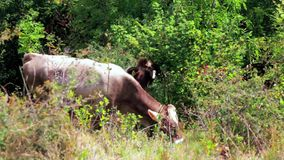 吃草在山草甸小山的两头棕色母牛在好日子 股票视频