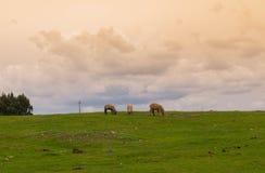 吃草在山草甸的三只绵羊 免版税库存图片