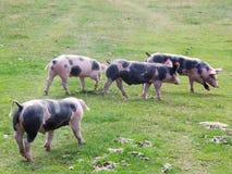吃草在山草甸的小组猪 免版税图库摄影