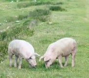 吃草在山草甸的猪夫妇  免版税库存图片