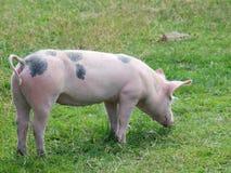 吃草在山草甸的猪 库存照片