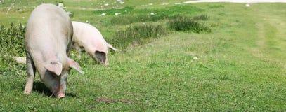 吃草在山草甸的猪 库存图片