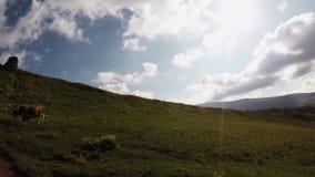 吃草在山草甸,美好的山自然的母牛牧群  影视素材