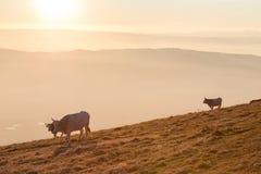 吃草在山顶部的母牛在日落,当雾在底下盖谷 库存照片