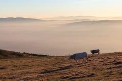 吃草在山顶部的母牛在日落,当雾在底下盖谷 免版税库存图片