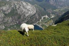 吃草在岩石的绵羊 图库摄影