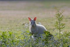 吃草在布鲁尼海岛塔斯马尼亚上的白色白变种鼠 库存图片