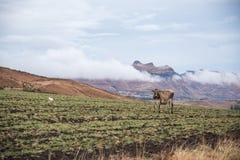吃草在干燥领域的母牛 免版税库存图片
