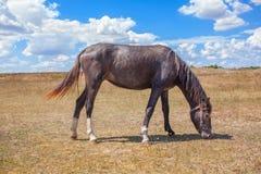 吃草在干草原的一匹马 库存图片