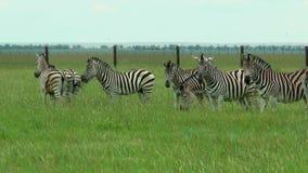 吃草在干草原的小组斑马 股票视频