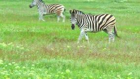 吃草在干草原的斑马 影视素材