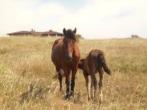 吃草在干草原的马 与他的母亲马的驹 库存图片