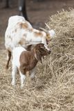 吃草在干草捆的保姆和孩子山羊 画象样式 免版税图库摄影