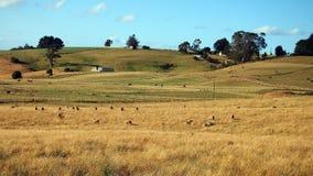 吃草在开放小牧场,塔斯马尼亚岛的绵羊和牛 免版税库存图片