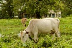 吃草在开放草地的牛 库存照片
