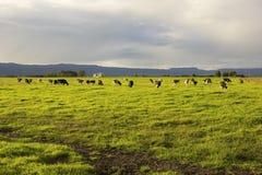 吃草在开放草甸的牛在澳大利亚 库存照片