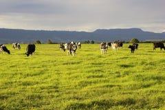 吃草在开放草甸的牛在澳大利亚 免版税库存照片