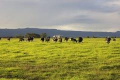 吃草在开放草甸的牛在澳大利亚 免版税库存图片