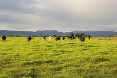 吃草在开放草甸的牛在澳大利亚 免版税图库摄影