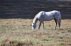 吃草在开放领域的白色阿帕卢萨马马 库存图片
