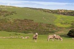 吃草在开放绿色草甸的绵羊在南方的秋天期间 库存图片