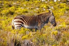 吃草在开普角自然保护的斑马 库存图片