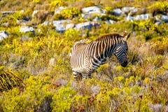 吃草在开普角自然保护的斑马 图库摄影