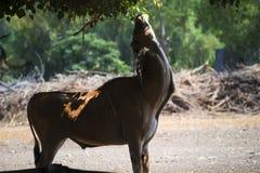 吃草在徒步旅行队的储备的一只公小鼓羚羊的画象 库存照片